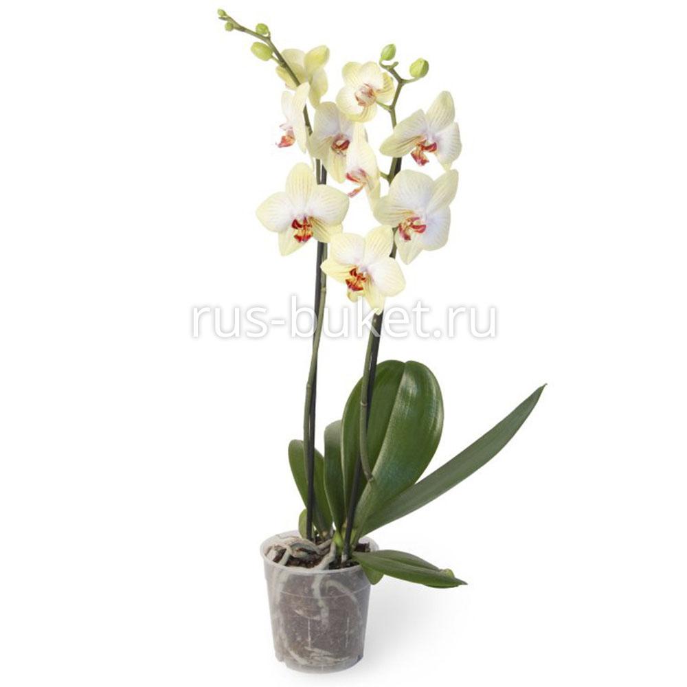Где можно купить цветы орхидеи в городе уфа доставка цветов в зеленоборск